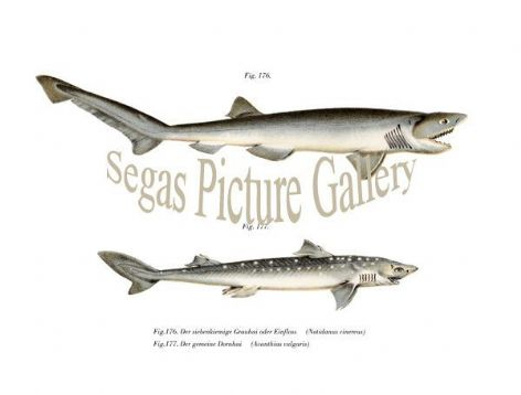 Fine art print of the Spiny Dogfish, Cinercus Shark